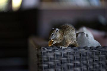 Eichhörnchen / Squirrel in Botswana