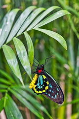 Close-up of a Carins birdwing, Ornithoptera euphorion, resting on a green leaf against a soft focus background