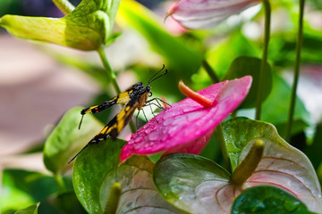Close up of a yellow and black Thoas Swallowtail resting on a pink anthurium