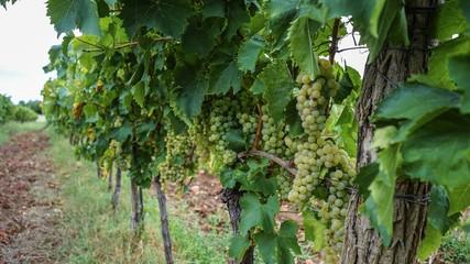 white grape vineyard