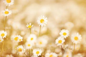 Keuken foto achterwand Natuur beautiful blonde in a chamomile field