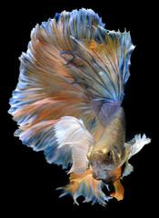 Colorful  waver of Betta Saimese fighting fish