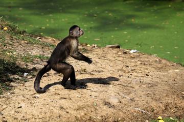 Standing white-headed Capuchin New World monkey of the subfamily Cebinae