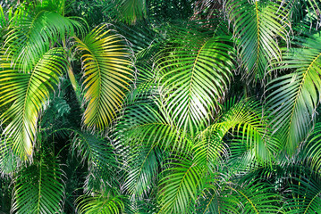 Natural garden wall of decorative palm trees. Bright green leaves tropical background.