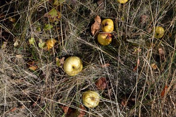 Fall fruit (apples) in the dried grass