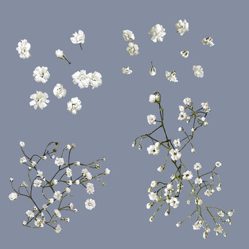 Vector Isolated Babys Breath Flowers