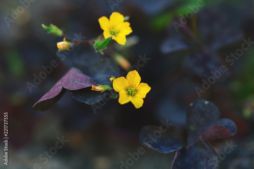 Little Yellow Flowers Oxalis With Purple Grass Leafs Stockfotos Und