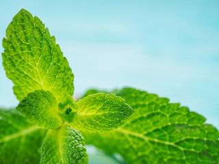 Fresh mint leaf close up on blue background