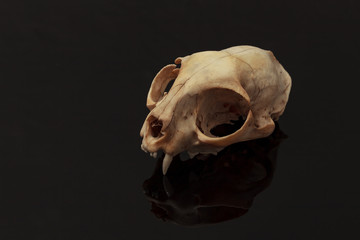 skull of a domestic animal on a black background
