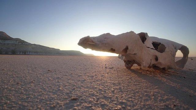 skull of a horse in the desert