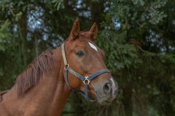 Pferdekopf im Profil