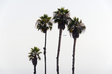 A view of palm trees and two airplanes passing by in the clear white sky in Venice beach, California