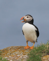 A closeup full body profile portrait of a standing Atlantic puffin at Elliston, Newfoundland