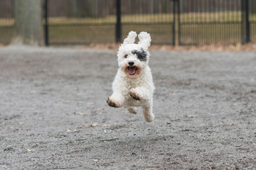 Happy white dog with black eye patch running fast in park