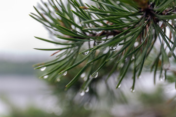 wet pine branches
