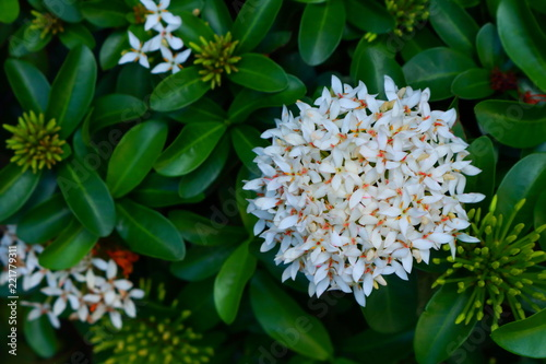 Closeup picture of white spike flowers or ixora stock photo and closeup picture of white spike flowers or ixora mightylinksfo