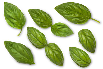 Leaves of a green basil on a white background. View from above