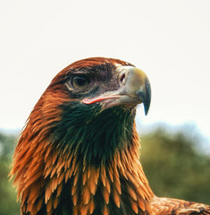 Portrait of the Australian wedge-tailed eagle, Aquila audax.