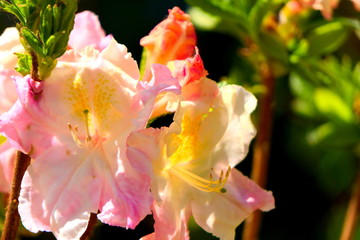 Flowers of deciduous rhododendron.