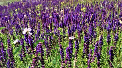 field of sage