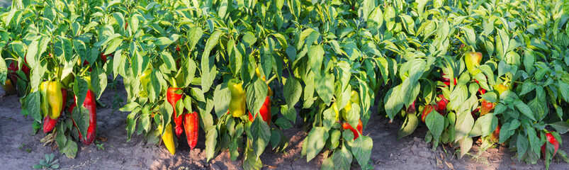 Part of the plantation of ripening bell pepper