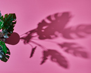 Top view Monstera plant Philodendron and shadows from the leaves on a pink background.