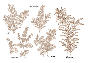 Hand drawn rosemary, pepper mint, melissa, sage, lavender and sage garden herbs with leaves and flowers. Medical plants collection. Hand drawn sketches engraved. Vector illustration.