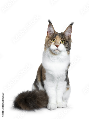 b7292b04d7 Sweet bicolor high white Maine Coon cat girl sitting up front view ...