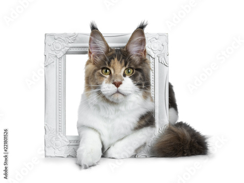 3886c8e3d3 Sweet bicolor high white Maine Coon cat girl laying throught   in a white  photo frame front view