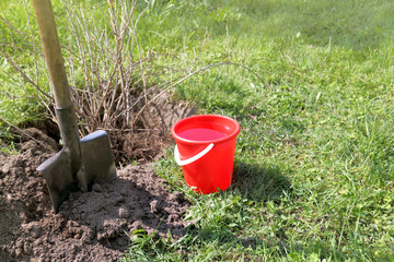autumn fruit crop transplantation/ shovel, red bucket and large currant bush in the garden