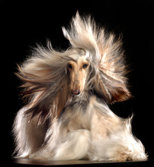 Afghan hound Dog  Isolated  on Black Background in studio