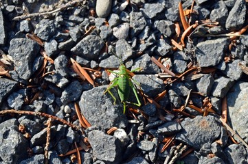 Green grasshopper on gray pebbles