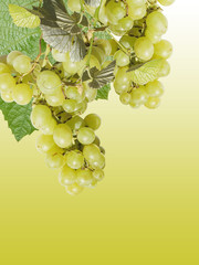 Beautiful background of green grapes. Isolated