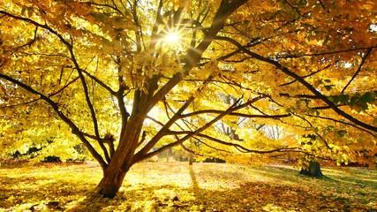 Wall Mural - Sonne scheint durch einen Baum, goldene Szenerie im Herbst