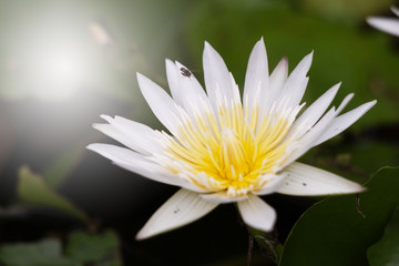 White lotus with yellow pollen