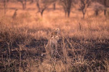 Cheetahs in the African savanna. Safari in the savannah of Serengeti National Park, Tanzania. Close to Maasai Mara, Kenya. Burnt savanna landscape because of bushfire. Africa.