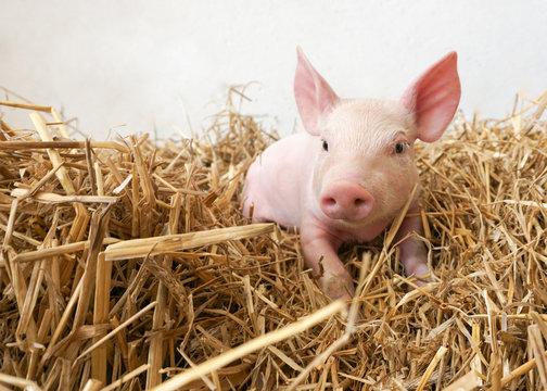 witziges kleines Schwein im Stroh, Ferkel, Glücksbringer