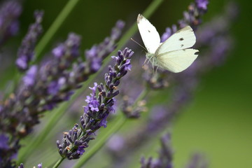 A Cabbage White Butterfly feeds blooming lavender stalks in my herb garden on a summer day.