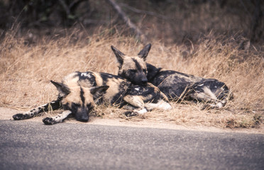 Wild Dog (Licaon pictus), Kruger National Park, Mpumalanga, South Africa