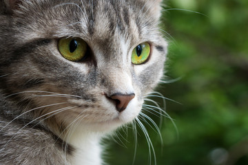 large portrait of a gray cat with bright green eyes on a green background