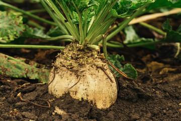 Organic sugar beet