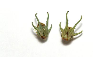 Head or maslk of common nawab butterfly ( Polyura athamas ) dragon-head