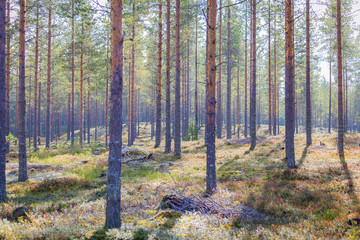 Autumn forest view from Sotkamo, Finland.