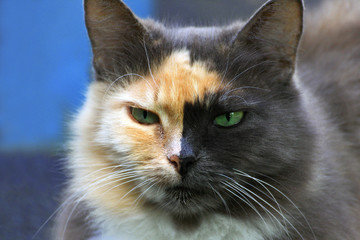 Close-up portrait of a two-tone cat.