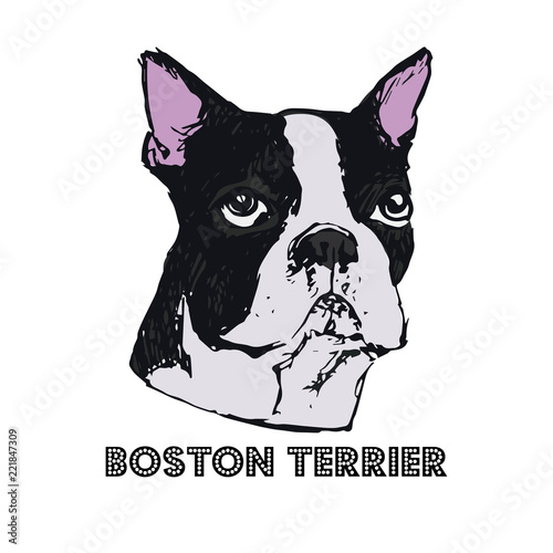 Boston Terrier dog face vector illustration  Hand drawn dog