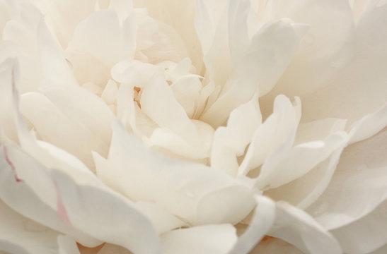 close up of beautiful white peony flower