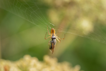 A spider in the net with the prey