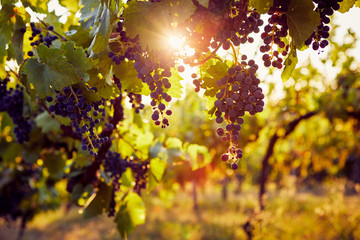 The sun shines through a vineyard with blue grapes