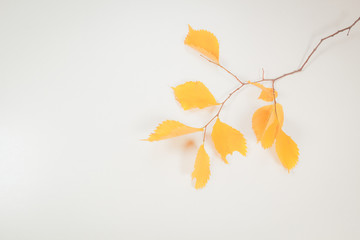 Branch of yellow leaves  on white background