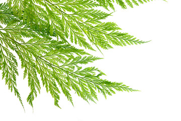 Fern leave isolated on white background